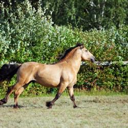 Show de caballos de paso