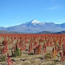 Tour por la Ruta de la Quínoa y el bosque de cactus gigantes (enero a mayo)
